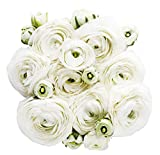 White French Ranunculus Corms - 12 Largest Size Corms Bulbs
