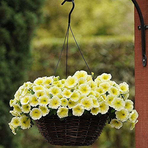 200 pezzi di semi di petunia grappoli gialli miglior fiore per la decorazione in giardino giallo brillante e crescita soleggiata odore piacevole resistente metodo di coltivazione semplice