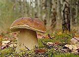 Boletus Edulis, micelio per piantare funghi