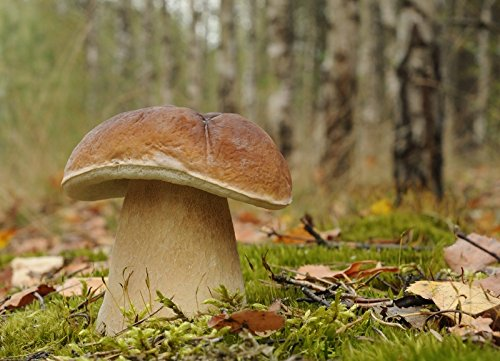 Mycelium -  Myzel für Boletus