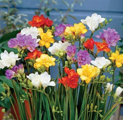 Beautytalk-Garten- 100 Stück Gefüllte Freesien rosa Mischung, Seltene Freesiasamen Zierblumen winterhart mehrjährig Blumen für Balkon, Garten