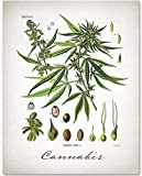 Cannabis - 11x14 Unframed Art Print - Makes a Great Botanical Home Decor and Gift Under $15