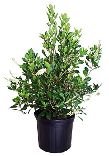 American Beauties Native Plants - Clethra alnifolia (Summersweet) Shrub, white flowers, #2 - Size Container