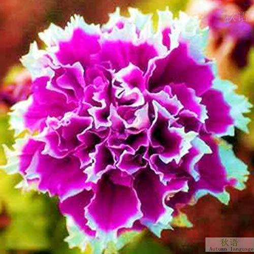 Semillas de Flores perfumadas,Semillas de Petunia Jardín Balcón Flores en macetas Four Seasons 30 Cápsulas-Blue_2 Bolsas