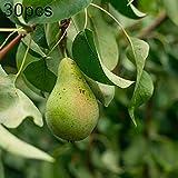 XQxiqi689sy 30/60 Piezas Semillas De árboles De Pera Planta De Bonsái De Granja De Jardín De Fruta Deliciosa Dulce Semillas de peral 30 Piezas