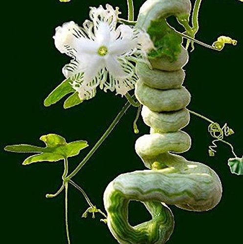 Serpent Gourd Seed long Comme Serpent Fruits Et Légumes À propos de 1.5m Gourd Graines Saisons Facile Serpent haricots comestibles