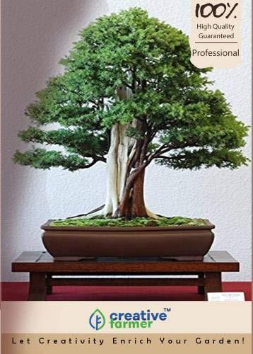 Pinkdose Juniperus communis - Gemeine Wacholder Bonsai Samen Seed