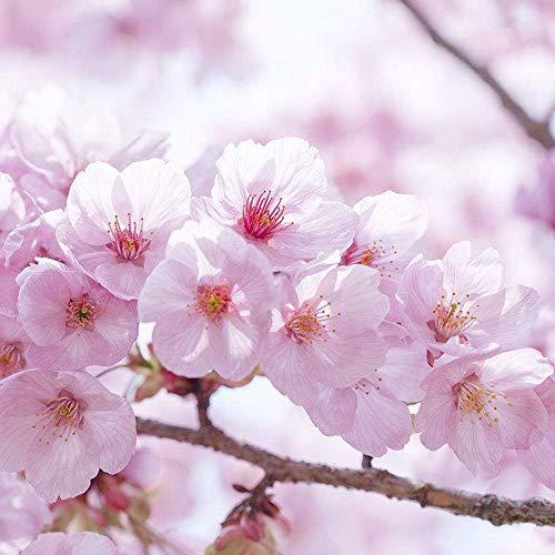 Rosepoem Graine de cerisier 20 pcs graines d'arbre de fleur de cerisier japonais cerisiers ornementaux graines pour jardin