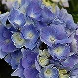 Ballhortensie 'Forever & Ever® Blue'