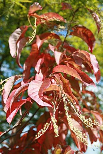 Sauerbaum Oxydendrum arboreum Pflanze 15-20cm Sourwood Andromeda arborea Rarität