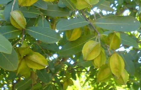 3 Seeds - Terminalia Arjuna - Arjun Tree - Koha