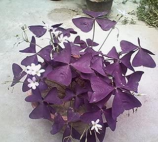 wood sorrels purple house plants