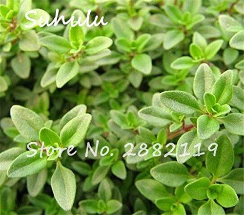 Citron thym herbes Graines 200sesds / sac semences biologiques végétales Thym Citron Mosquito Repelling fétuque