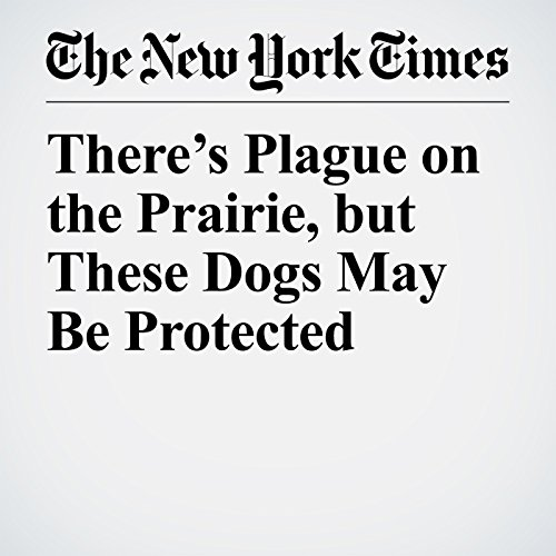 There's Plague on the Prairie, but These Dogs May Be Protected copertina