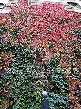 VISTARIC 9: 50 Pcs mixte Boston Seeds 100% vrai Parthenocissus tricuspidata semences de plantes en plein air QUASIMENT soins décoratifs Escalade de plantes 9