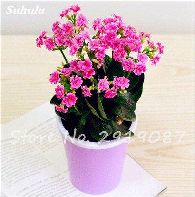 50 Pcs Campanula Graines rares Fleur Plante en pot Couleurs mélangées 95% Taux de bourgeonnement vivaces Plantes Bonsai Maison et Jardin 7