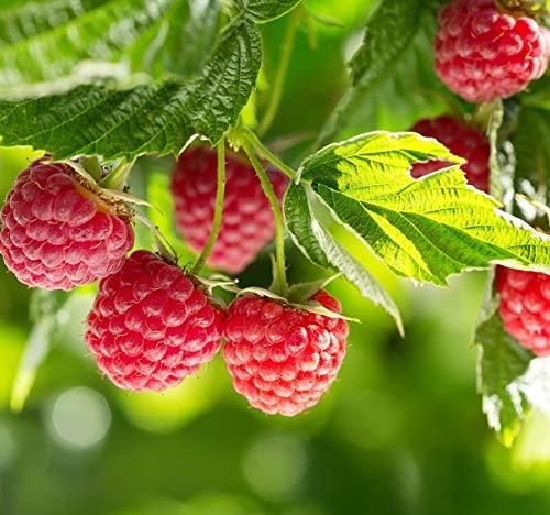 Himbeere `Glen Ample´, komplett dornenlos, Rubus idaeus, im Topf