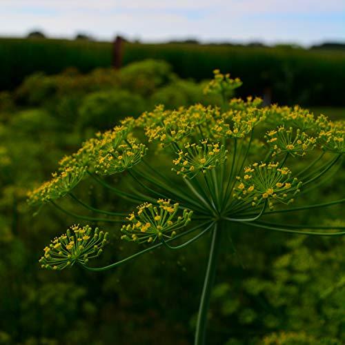 Mammoth Long Island Dill - 500 Seeds