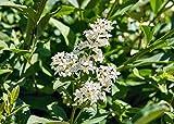 Ligustro sinense'Ligustrum sinensis' pianta da siepe in vaso ø14 h. 70/100 cm