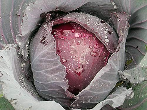 "Portal Cool Ukrainisch Bio-Gemüse Rotkohl Seeds ""Garnet"" Granat. 70 Seeds"