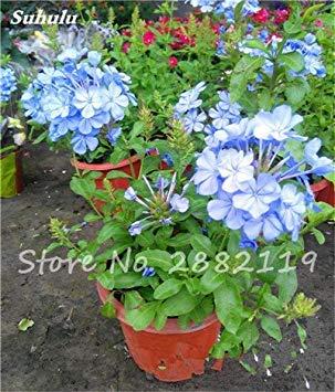 Belle Bonsai Blanc Saxifraga « Neige de printemps » Graines de fleurs vivaces De jardin les plus populaires Nature Plantes à effet de serre 120 Pcs 6