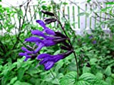 Black & Blue Hummingbird Sage Herb - Grow Indoors/Out - Live Plant - 4' Pot