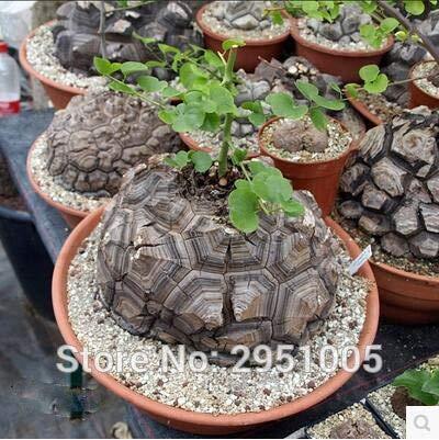 Pinkdose T003 Schildkröten-Rückseite, Elefantenfuß/Hottentotsbrot (Dioscorea-Elefanten), Bonsai, Haus, Garten, 3 Stück