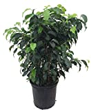 Wintergreen Weeping Fig Tree - Ficus - Great...