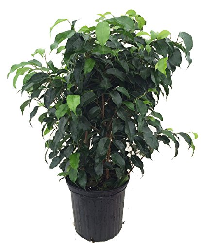 10 best ficus tree live benjamin for 2021