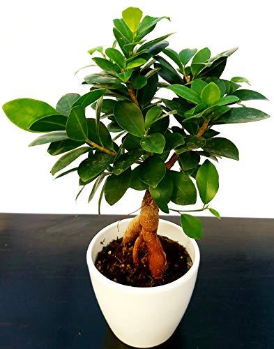 Ficus Ginseng en maceta de cerámica blanca planta auténtica