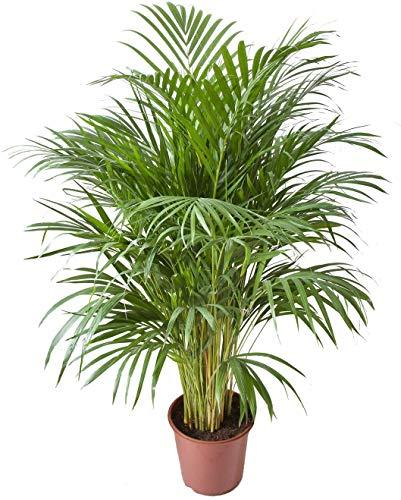 Palmera de Interior Areca Altura 85-100cm Palma Dypsis Lutescens Planta de Interior