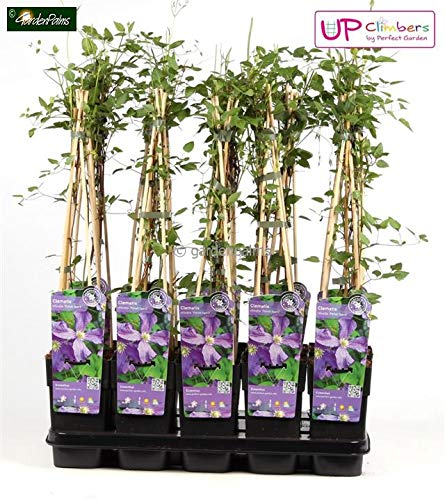 Clematis - Polish Spirit - Violette Blüten - 60-80cm 2ltr.