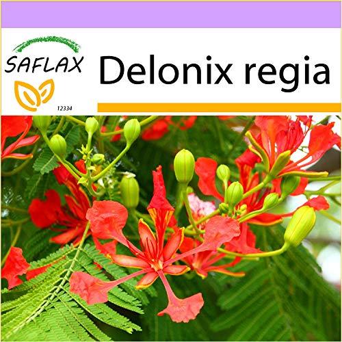 SAFLAX - Flammenbaum - 6 Samen - Delonix regia