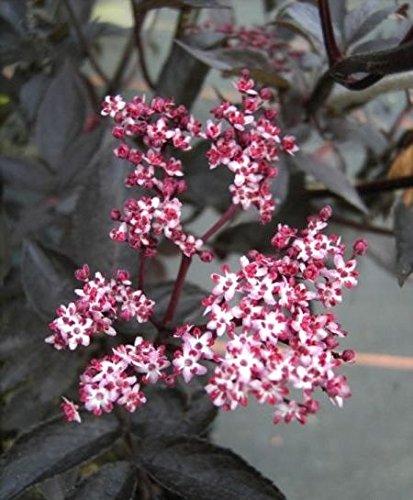 Sambucus nigra Black Beauty - schwarze Holunderbeere - Holderbusch - Fliederbeere - Duft-Holunder -