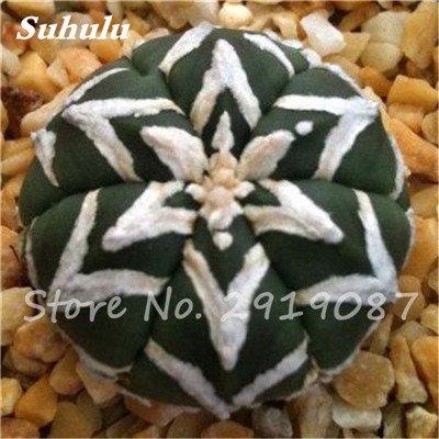 100 Pcs vrai Cactus Seeds, Mini Cactus, Figuier, japonais Succulentes Bonsai Graines de fleurs, Plante en pot pour jardin 1
