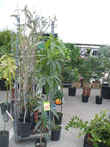 Mangobaum, Mangopflanze ca. 130-150 cm