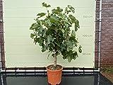 Ficus Carica - vijgenboom - 150 cm - stamomtrek 14/16 cm - winterhard - vijg