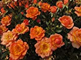 Fond Memories - 5.5lt Potted Patio Garden Rose Bush - Stunning Displays of Ginger Orange Blooms with Apricot/Yellow Centres - Retirement Gift or Tribute Rose
