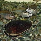 【生体】イシガイ 5匹 石貝 二枚貝 emuwai