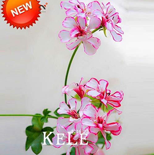 AGROBITS Vente Hot 100 PCS/Lot White & amp; ! Amp; bonsaïs rouge bord Géranium, vivace jardin Fleur Pelargonium Peltatum Fleurs domestiques, 7VB94: MIX