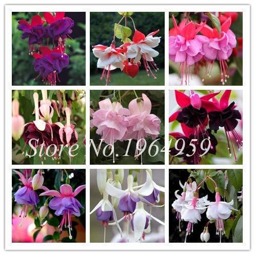 Pinkdose 50 Teile/Beutel Doppel Blütenblätter Fuchsia Bonsai Topfblume Bonsai Topf Hängepflanzen Semillas De Flores DIY Hausgartenpflanzen: gemischt