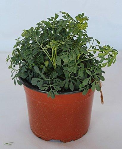 Sin marca Ruda (Maceta 13 cm Ø) - Planta Viva