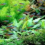 (熱帯魚)カージナルテトラ(ブリード)(20匹) 北海道航空便要保温