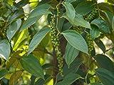 30 Samen - Schwarzer Pfeffer - Ganz frische Samen - sehr selten angeboten