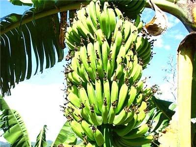 Sumpf frisch 100 Stück Bananenfrucht SAMEN zum Pflanzen von Grün