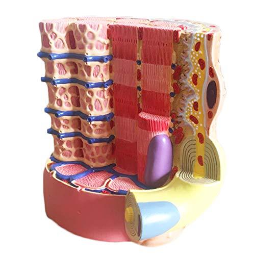 Anatomie-Modell Skelett-Muskelfaser-mikroskopisches anatomisches Modell - medizinisches anatomisches Skelettmuskelfasermodell - Details anzeigen Kollagenfasern und Retikulierte Faser,A