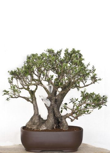 Seedeo® Bonsai Anzuchtset Ölbaum/Olive (Olea europea)