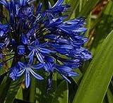 Schmucklilie Navy Blue - Agapanthus africanus
