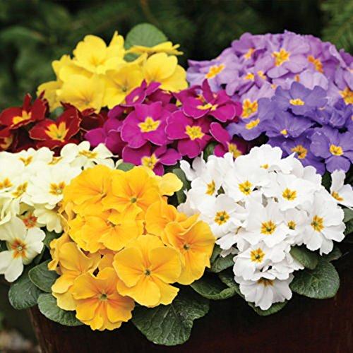 C-LARSS 50 Stück Primel Blumensamen, DIY Hausgarten Hof Pflanze Topf Bonsai Dekoration