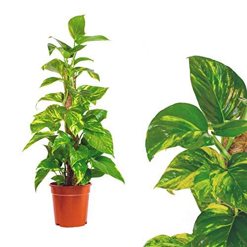 Scindapsus Epipremnum Efeutute Epipremnum aureum Moosstab 100cm - am Moosstab, hängend als Ampel oder im Topf - Pflegeleichte immergrüne Zimmerpflanzen